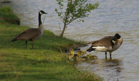 Canada goose pair with goslings