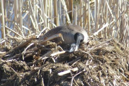 Canada goose incubating a nest on a muskrat house