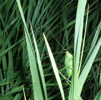 "This photo shows why the meadow katydids once were known as ""long-horned grasshoppers."""