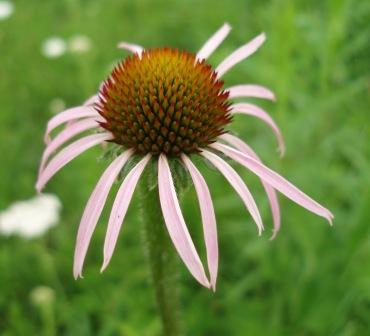 Purple coneflower, rays just starting to expand