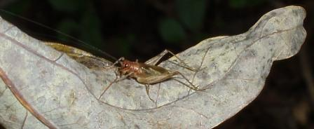 Say's trig is a common small cricket.