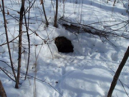 Skunk den entrances usually are around 6 inches in diameter.