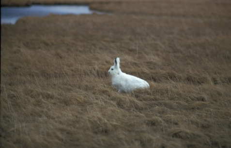 Tundra hare, before its summer molt