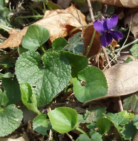 Some common blue violets were intermixed with the spring beauties.