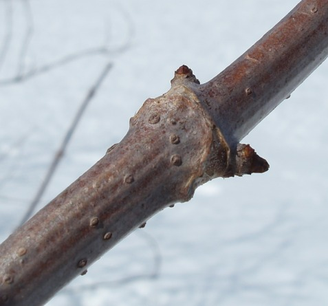 The thick twigs are covered in lenticels. The paired buds will produce compound leaves. ]