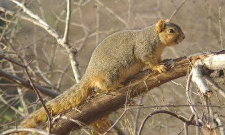 Only fox squirrels live in the Culver area, no grays