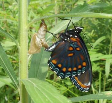 Butterflies and moths had their origin in the Triassic Period according to recent studies, though the first ones were more like caddis flies than like this red-spotted purple.