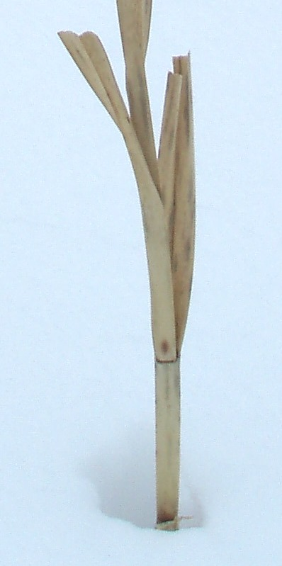 Here a single stem retains some leaf bases.