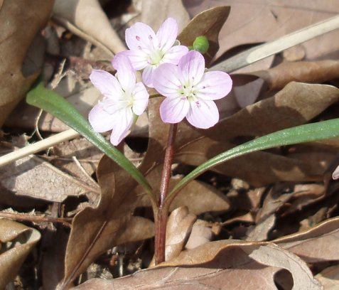 I saw spring beauties first. For once, the delicate pink of the flower is not overexposed in this image.