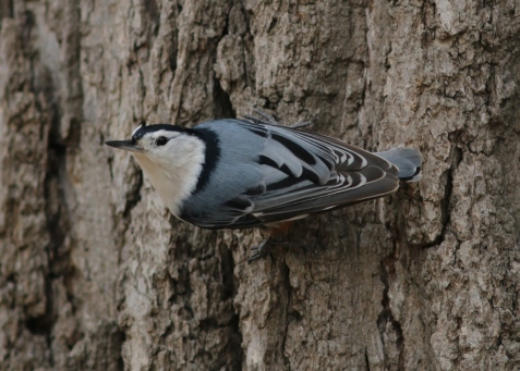 Another resident, a white-breasted nuthatch, pauses between bouts of courtship.