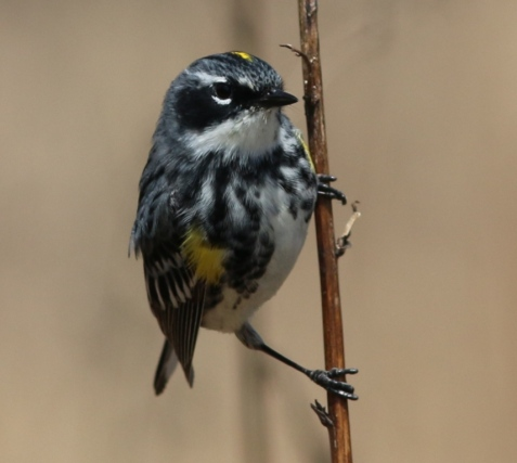 Yellow-rumped warblers actively foraged in Mayslake's woodlands.