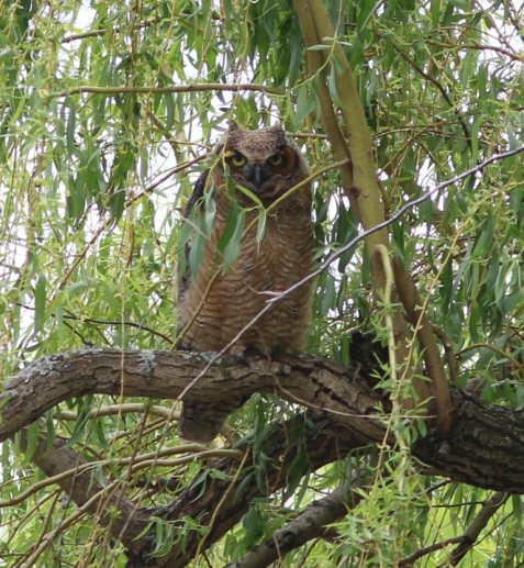 The young owl was perched in a weeping willow.