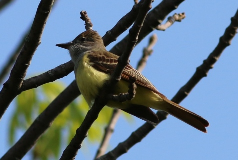 Great crested flycatchers have been noisy and conspicuous, but they will become less so as nesting progresses.