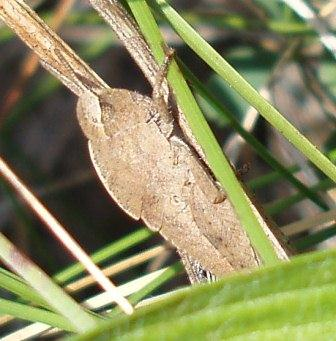 The greenstriped grasshopper gets the jump on other singing species because it overwinters as a nymph rather than an egg.