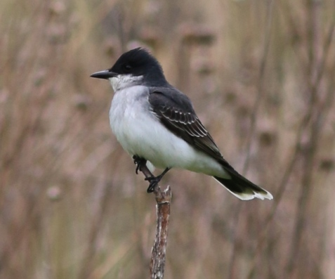 Two pairs of eastern kingbirds have been active in different parts of the preserve.