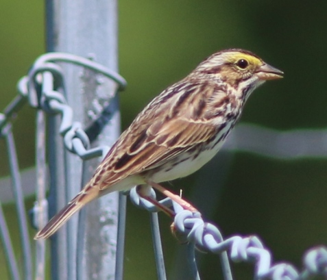 The savanna sparrow is one of these, though as Mayslake's prairies continue to expand, the day may come when one or more pairs nest on the preserve.