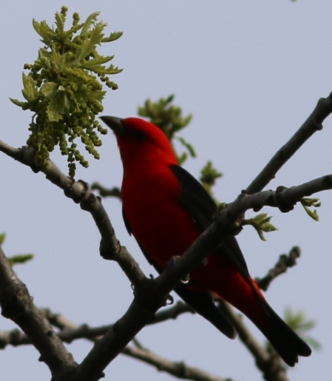 Scarlet tanagers prefer forests to Mayslake's more open woodlands.