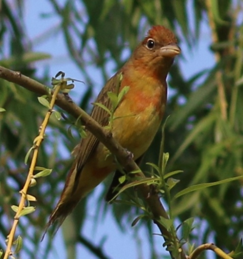 Sure enough, a summer tanager, an immature male.