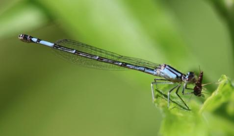 A female azure bluet was nearby.