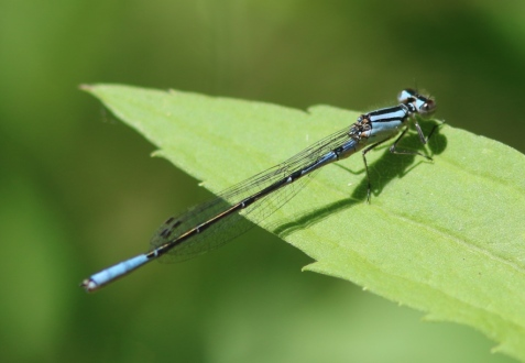 Check out the enormous eyespots and the large blue area at the tip of the abdomen. This is a male azure bluet.