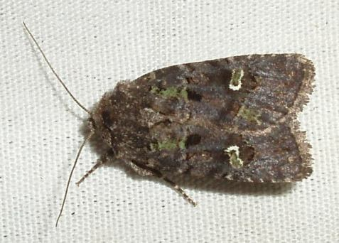 A third example, a bristly cutworm moth. Check out the beautiful green areas in the wings.