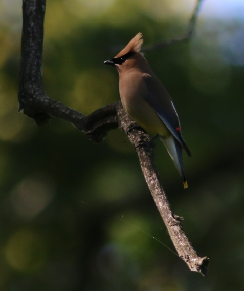 This cedar waxwing thoughtfully lifted its crest as I aimed the camera.