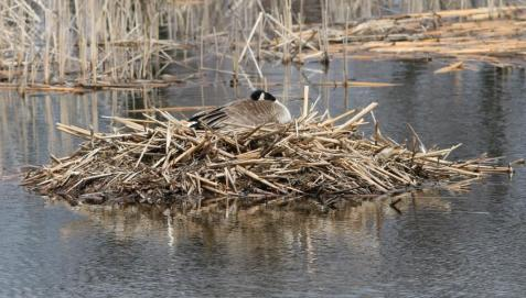 A female incubating her nest on April 15.