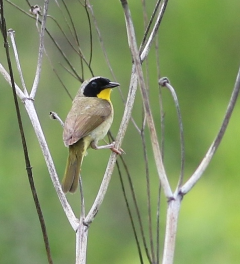 A single common yellowthroat is all I've been hearing on the preserve.