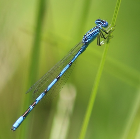 Ta-da! A double-striped bluet!