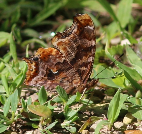This recent example shows the source of the butterfly's name: a contrasting silver or white mark on the underside of the wing is reminiscent of a comma.