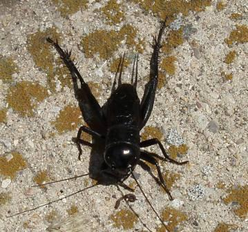 Fall field cricket, male