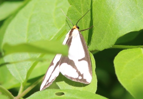 This was a LeConte's haploa on June 9. Note the gaps in the dark lines at the corners of the wings.