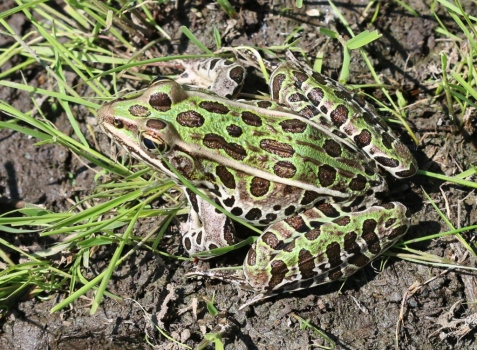 Northern leopard frogs were abundant, a sign of how rapidly the wetland is improving in quality.