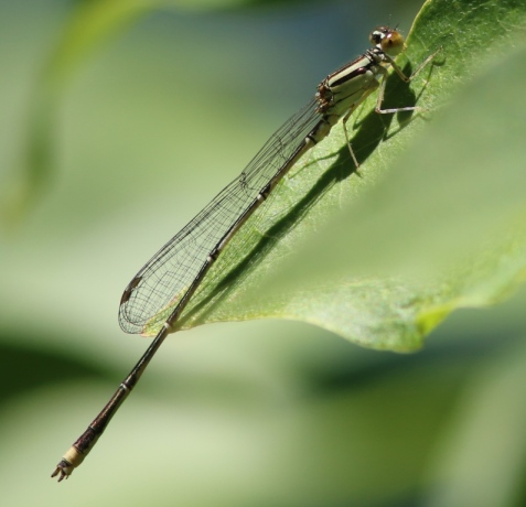 Nearby was this one, which I believe was an immature male orange bluet.
