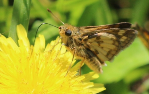 Peck's skipper was one of a number of butterfly species we observed.
