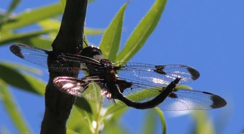 This is one of the few times I have seen a prince baskettail perched. I wonder if it needed a break in the midday sun. It seems to be semi-obelisking here.