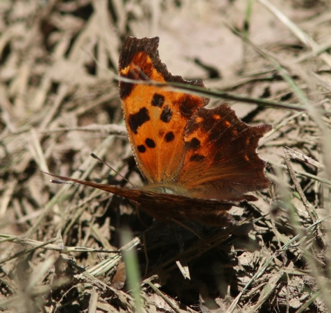 The pattern of black spots on the forewing is that of an eastern comma.