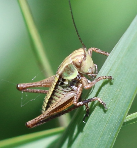 This Roesel's katydid nymph was one of a small cluster we found on an elevated bank.