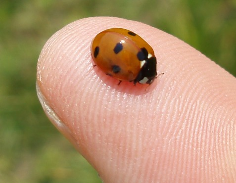 Seven-spotted lady beetle. The odd number of spots comes about from the forward most spot, which forms from a half on each elytron.