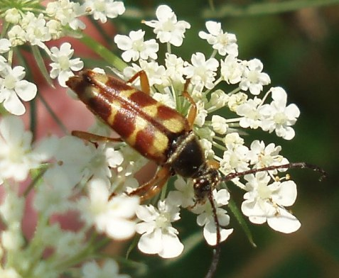 Note the black antennae and thorax, and the more stripe-like elytra markings.