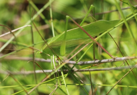 Broad-winged bush katydid, July 26