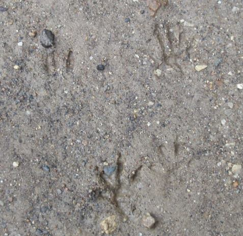 We've had more rain than usual this far into the summer. Here some fresh mud captured a set of chipmunk tracks.