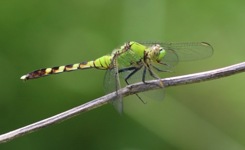 One of the fiercest dragonflies for its size, a common pondhawk.