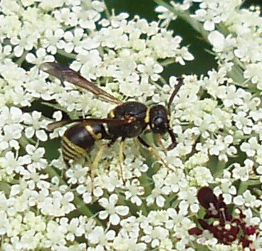 This little wasp, Euodynerus hidalgo, is a solitary species. The females nest in holes in wood or in the ground, partitioning them with fine soil and feeding their young with paralyzed caterpillars.