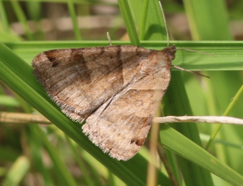 The forage looper is a very common moth in our area.