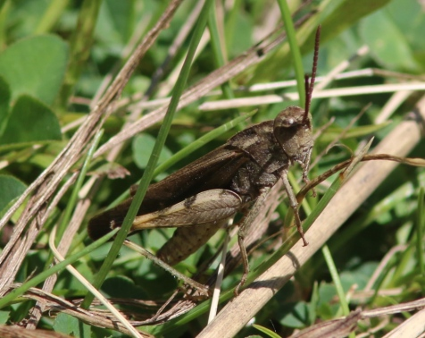 The male green-striped grasshopper usually is brown. He's the one who does the displaying.