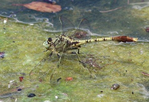 Jade clubtails have been resting on algal mats in the lakes.
