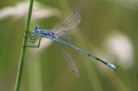 This male spreadwing clearly was not a slender spreadwing, which species has dominated the spreadwing damselfly fauna at the preserve this year. I generally photograph these from the side and above, as I haven't yet internalized their distinguishing features.