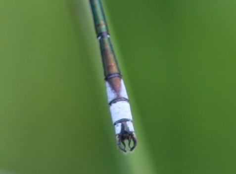 The abdomen tip tells the tale, both with the triangular black intrusion in segment 8, and in the shape of the terminal appendages, which demonstrate why this species has been named the lyre-tipped spreadwing.