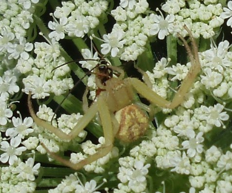 Here a northern crab spider, Mecaphesa asperata, feasts on a flower-visitor fooled by the spider's camo.